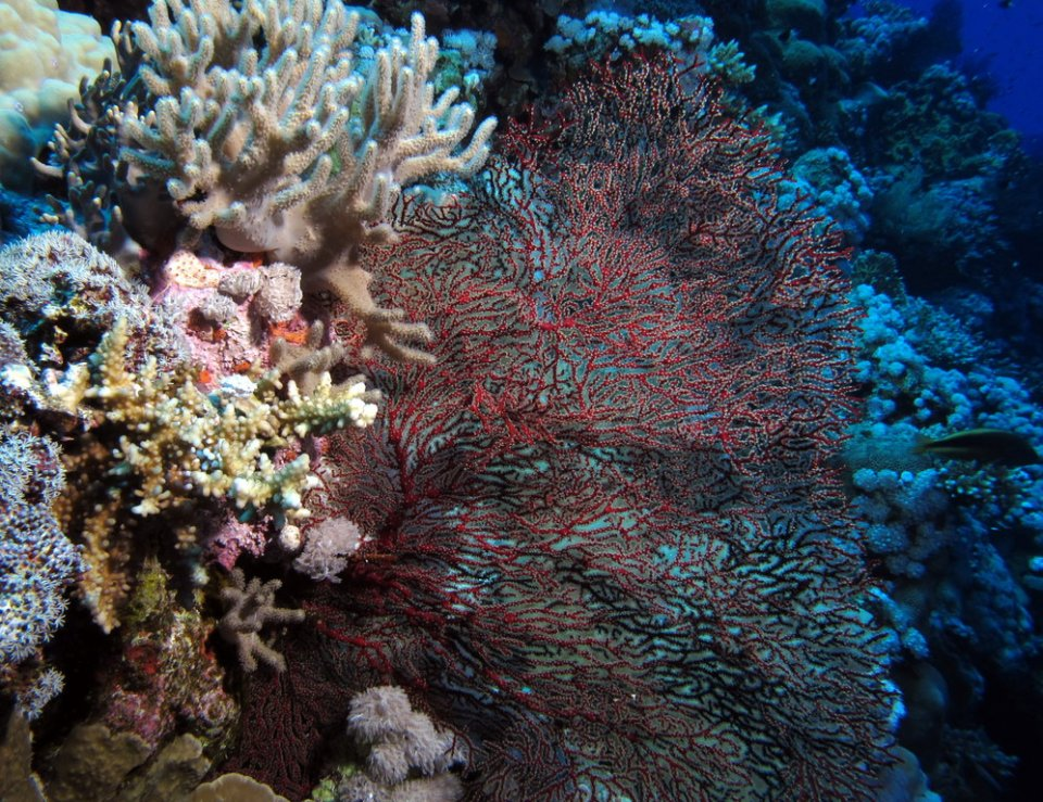 Gorgonian and reef